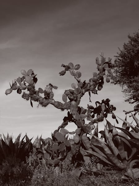 Nopal Tree Photography Art | Galeria Mañana