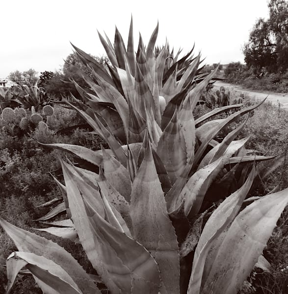 Maguey Row Photography Art | Galeria Mañana