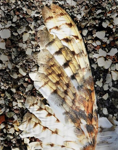 Barn Owl Wing Photography Art | Galeria Mañana