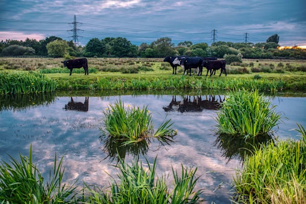 Cattle On Staines Moor Art | Martin Geddes Photography