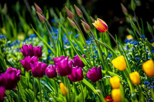 Tulips, Flowers, color, St. James Park, London, England