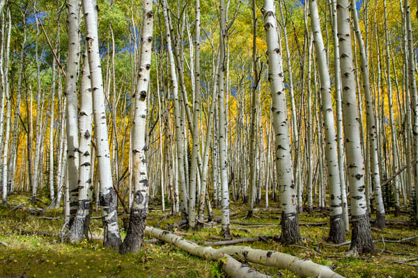 Aspen Grove Dark Canyon Photograph 4408 | Colorado Photography | Fall in Colorado | Kebler  Pass | Koral Martin Fine Art Photography