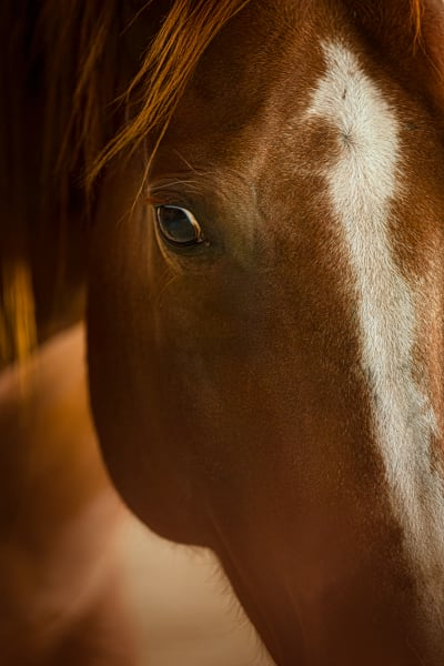 horse, face, closeup, Texas, stable
