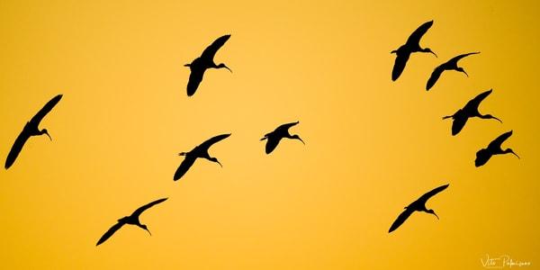 Ibis In Flight Photography Art | vitopalmisano