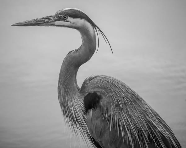 Heron in Black and White
