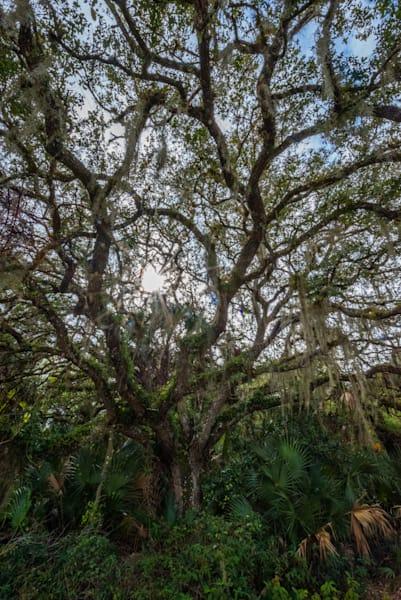 Myakka Tree Art | Brandon Hirt Photo