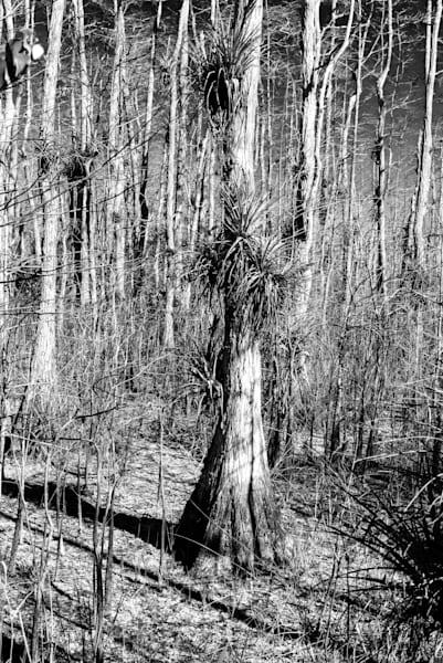 Big Cypress Black And White Art | Brandon Hirt Photo