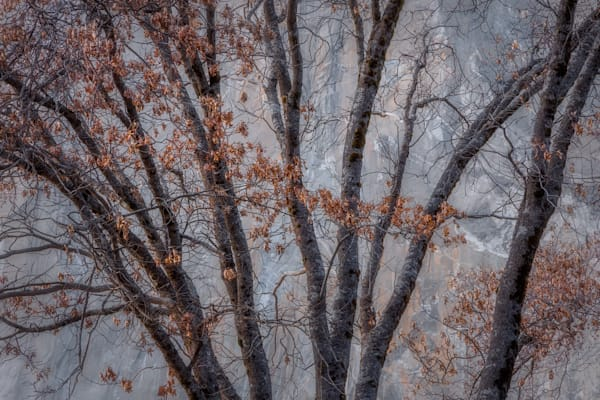 Charlotte Gibb photographs Yosemite's black oak trees against iconic El Capitan