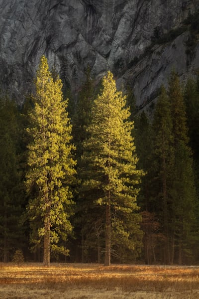 Yosemite's Ponderosa Pine trees by fine art photographer Charlotte Gibb