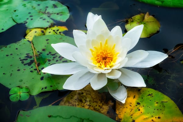 Water Lily Photography Art   Mark Steele Photography Inc