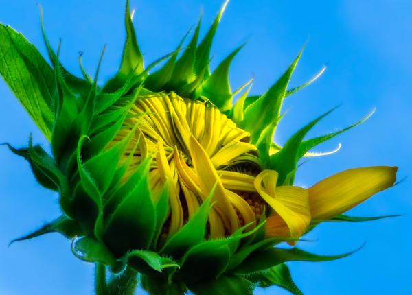 Sunflower Series03 Photography Art   Mark Steele Photography Inc