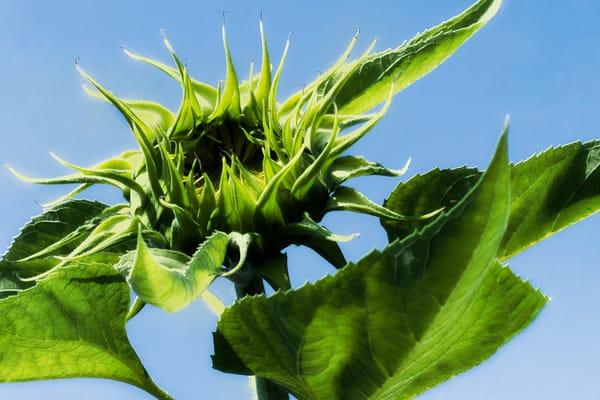 Sunflower Series14 Photography Art   Mark Steele Photography Inc