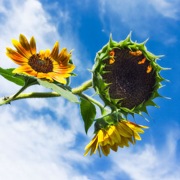 Sunflower Series26 Photography Art   Mark Steele Photography Inc