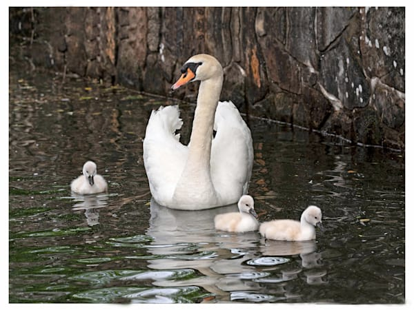 CAdams Mom Swan and Chicks