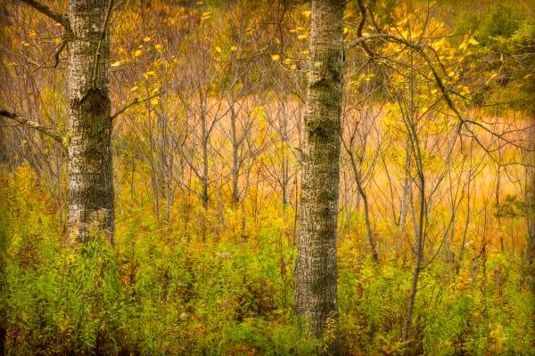 Golden Trees, Autumn in Maine