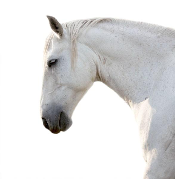 WHITE HORSE #5