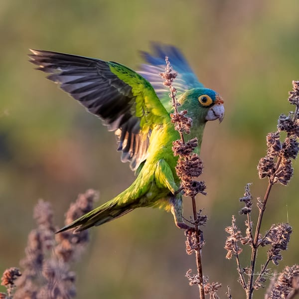 The Red-lored Parrot