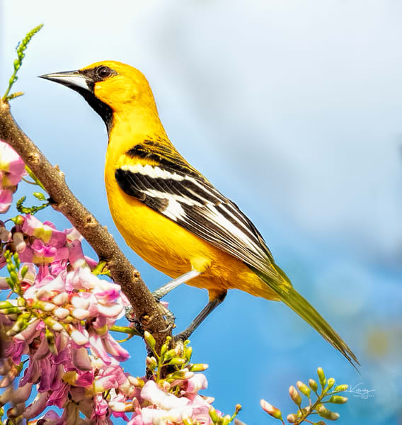 he Streak-backed Oriole