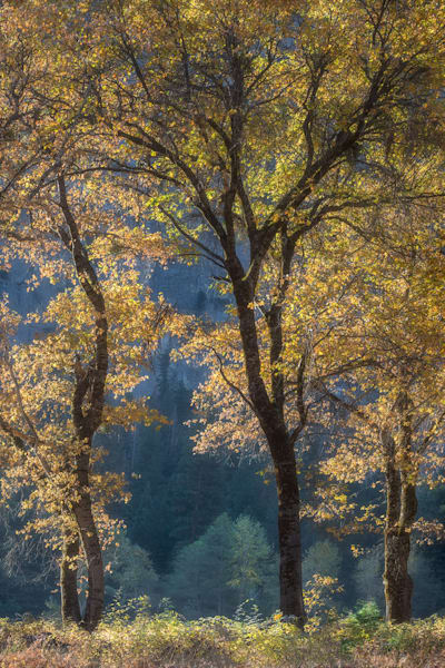 Black Oak Trees in Yosemite Valley light up like jewels in the forest, by Charlotte Gibb