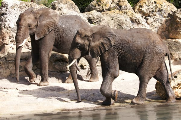 African elephants after bath