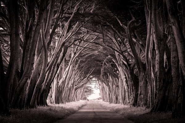 Tunnel of Trees -  California Cypress sepia toned black and white photograph print