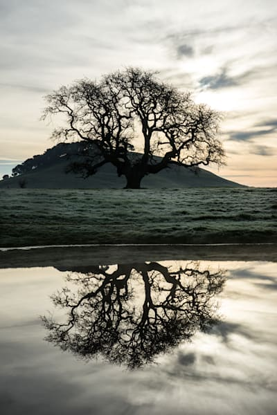 Lone Oak -- Petaluma country morning sunrise photograph print