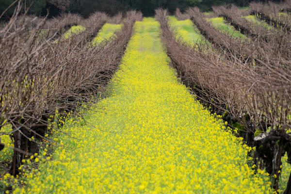 Mustard and Winter Vines - Jack London State Park Vineyard California photograph print
