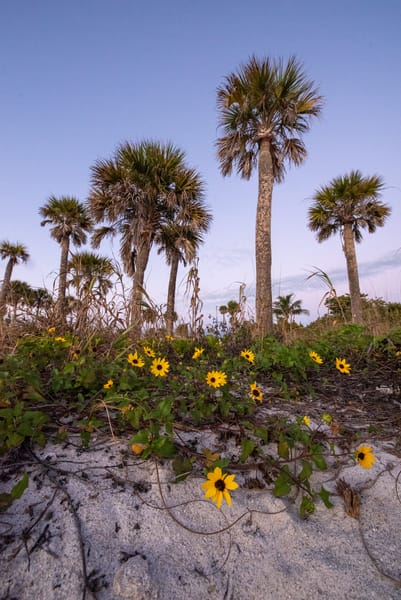 Beach Sunflowers in Florida at Sunset