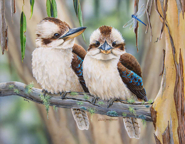 Life Among the Gum Trees - Laughing Kookaburras with Blue Dasher | Australian Native Wildlife