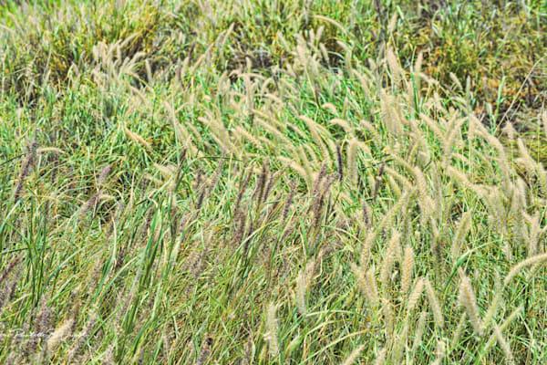Wild Hawaiian Grasses