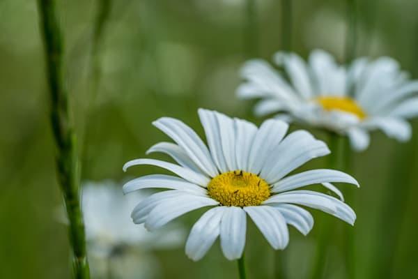 Wild Daisies - flower macro photograph print