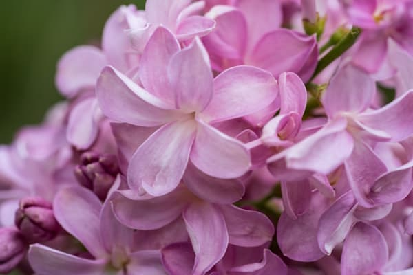 Botanicals: Lilac - flower macro photograph print