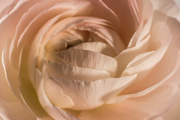 Close up of blush pink Ranunculus flower- macro photograph print