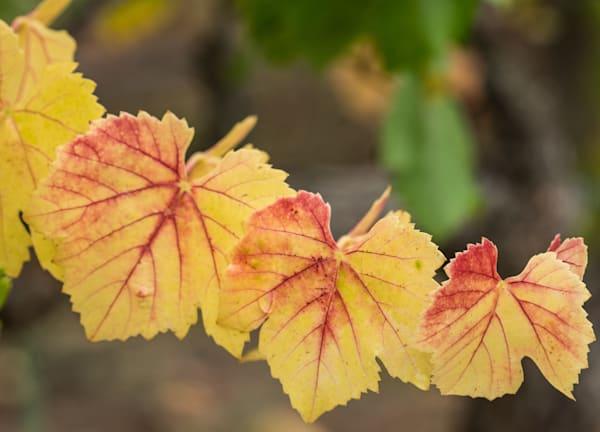 Autumn Leaves #2 - California vineyard photograph print