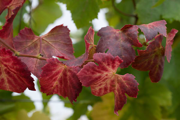 Autumn Leaves - California vineyard photograph print