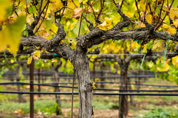 Vines - Fall colors California vineyard landscape photograph print