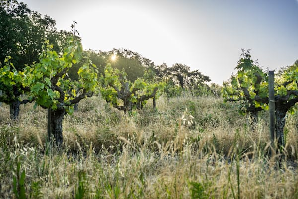 Spring Vines - California vineyard landscape photograph print