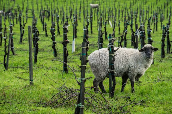 Breakfast in the Vines - California vineyard / farm animal landscape photograph print
