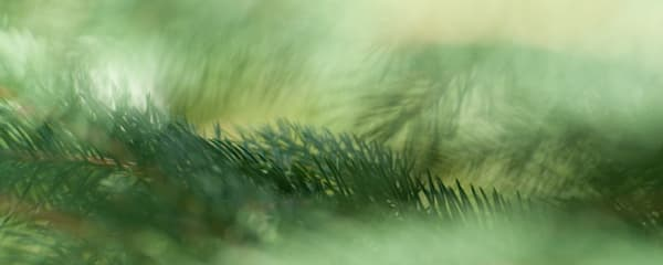 Evergreen Mist, a macro image of taken within a pine tree from my garden/ Shop fine art photography by An Artist's View Photography
