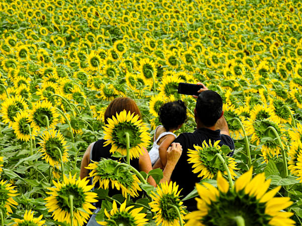 Sunflower Fields Photography Art | draphotography