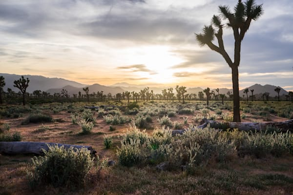 Joshua Tree Sunset - Joshua Tree National Park California landscape photograph print