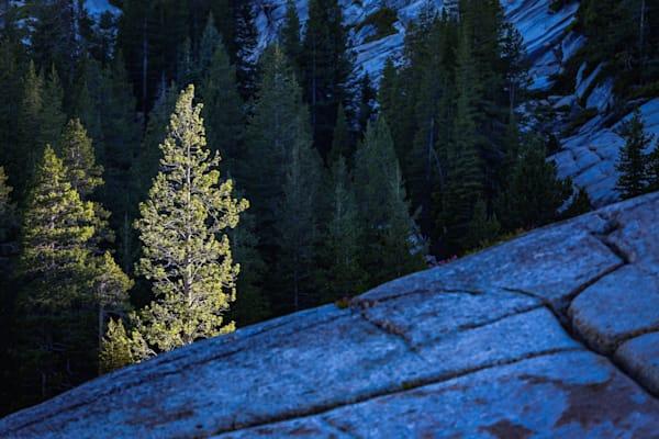 Sunlit Pine, Olmstead Point, Yosemite