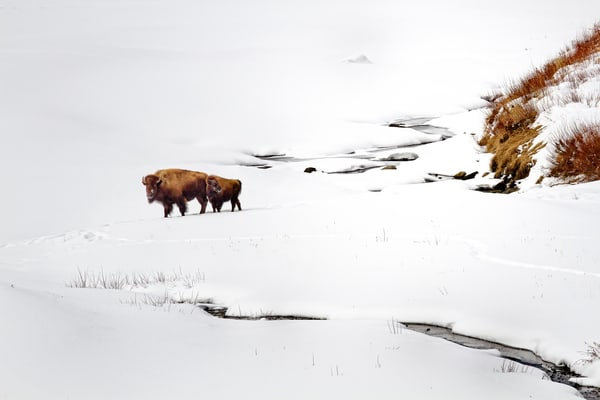 Yellowstone Wild Buffalo Winter Scene