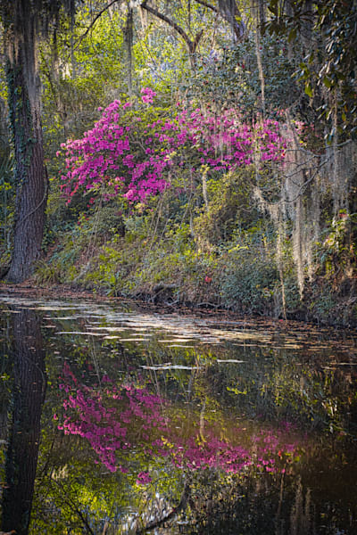 Azalea Reflection, Magnolia Plantation