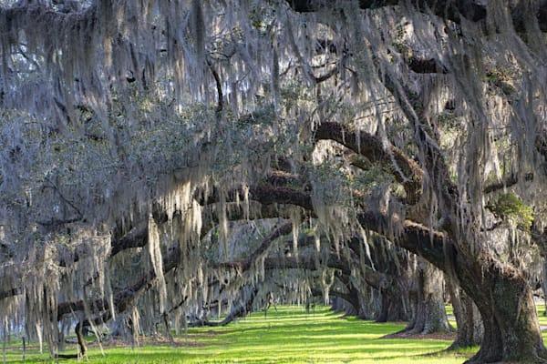 Tomotley Plantation Allee, Sheldon, South Carolina