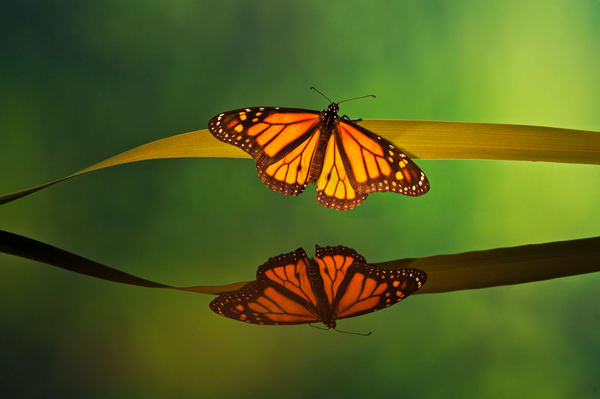 Monarch butterfly reflection.