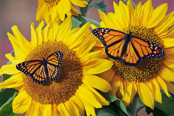 Monarch (r.) & Viceroy butterflies on sunflowers