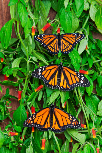 Viceroy (Limenitis archippus) (on top) & Monarch (Danaus plexippus) butterflies bask on candy corn vines (Manettia inflata), summer, North America.  Viceroy is Mullerian mimic: looks like Monarch & both distasteful to predators.
