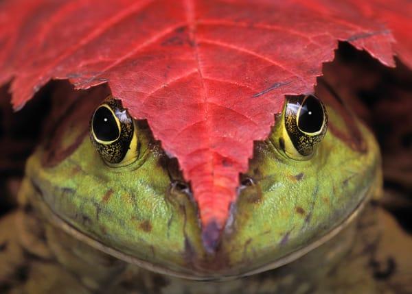 Bullfrog (Rana catesbeiana) & red maple leaf. Autumn. North America.