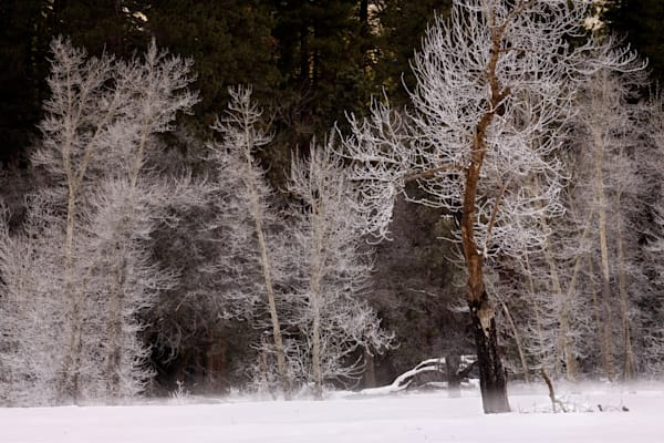 Frosted Trees - Yosemite